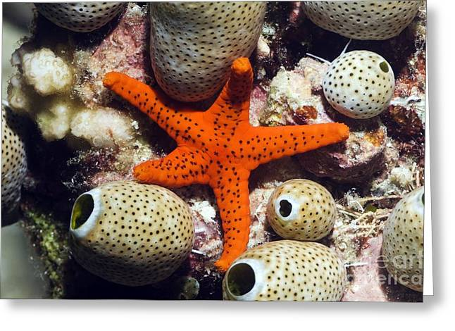 Star Fish Greeting Cards - Red Seastar And Seasquirts Greeting Card by Georgette Douwma