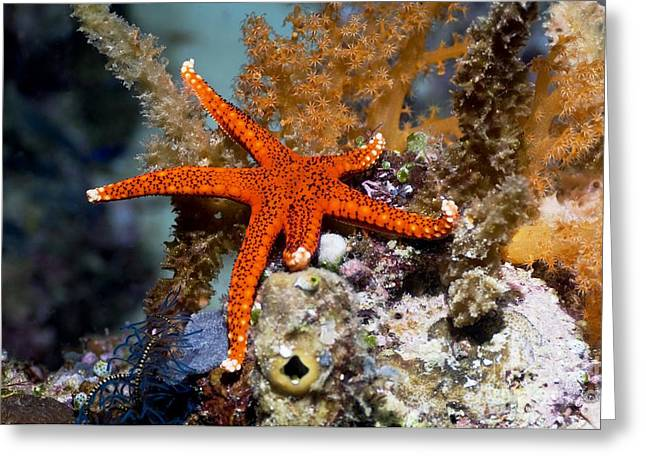Star Fish Greeting Cards - Red Seastar Greeting Card by Georgette Douwma