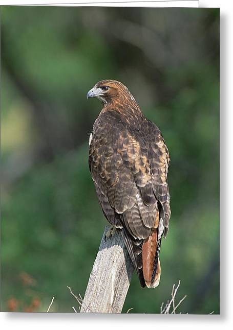 Red Tail Hawk Photo Greeting Cards - Red-tailed Hawk Perching Greeting Card by Konrad Wothe