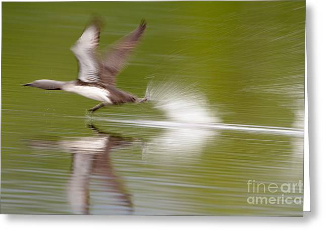 Take Action Greeting Cards - Red-throated Loon Greeting Card by Dr. Hinrich Bäsemann