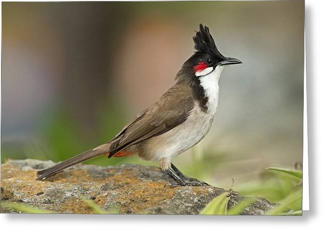 Coloured Plumage Greeting Cards - Red-whiskered bulbul Greeting Card by Science Photo Library