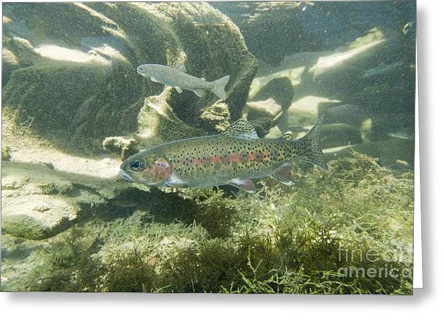 Mykiss Greeting Cards - Redband Trout Oncorhynchus Mykiss Greeting Card by William H. Mullins