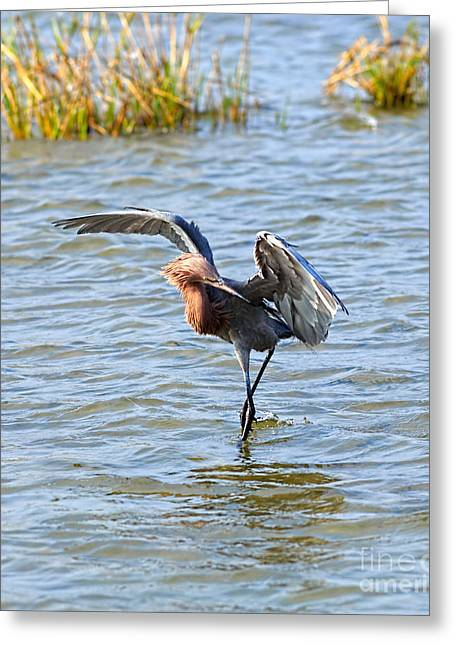 Morph Greeting Cards - Reddish Egret canopy feeding Greeting Card by Louise Heusinkveld