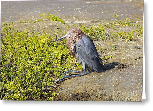 Nature Center Greeting Cards - Reddish Egret Greeting Card by Louise Heusinkveld
