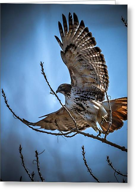 Redtail Hawks Greeting Cards - Redtail Hawk Greeting Card by Ernie Echols