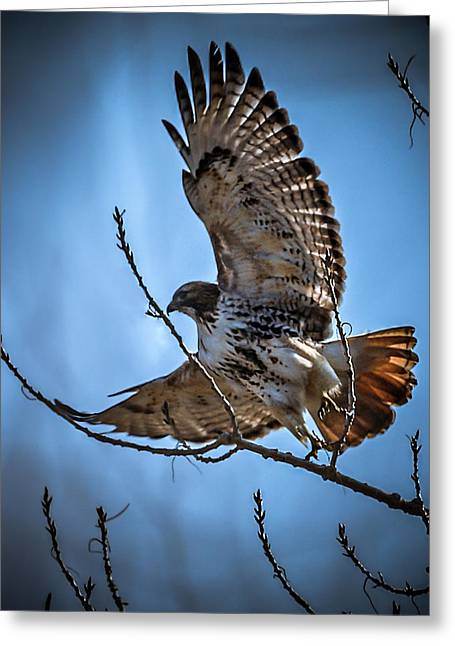 Redtailed Hawks Greeting Cards - Redtail Hawk Greeting Card by Ernie Echols