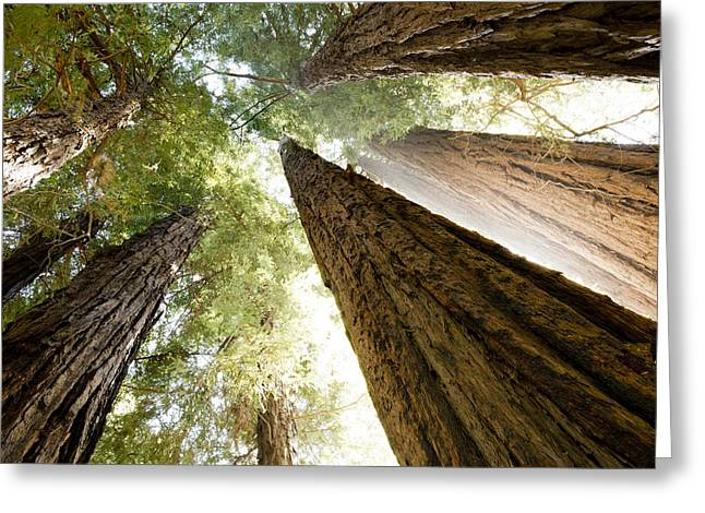 Sea Lions Greeting Cards - Redwood Canopy Greeting Card by Bryan Shane
