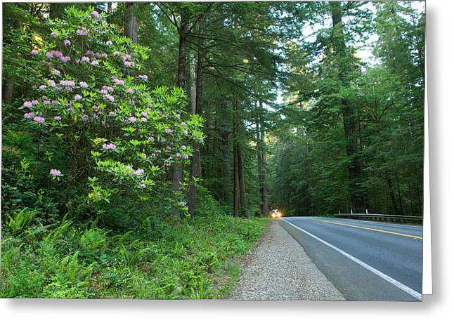 Headlight Greeting Cards - Redwood Trees And Rhododendron Flowers Greeting Card by Panoramic Images