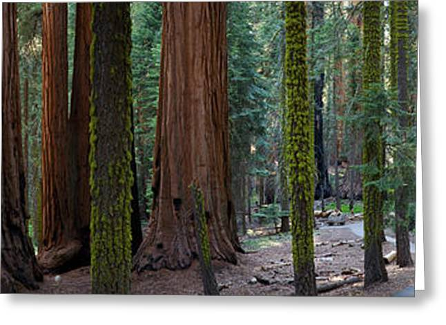 Sequoia National Park Greeting Cards - Redwood Trees In A Forest, Sequoia Greeting Card by Panoramic Images