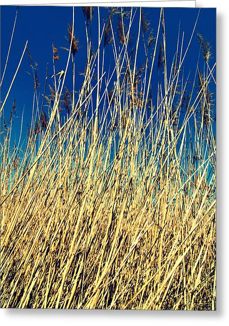 Reed Bed Greeting Cards - Reed Greeting Card by Chevy Fleet