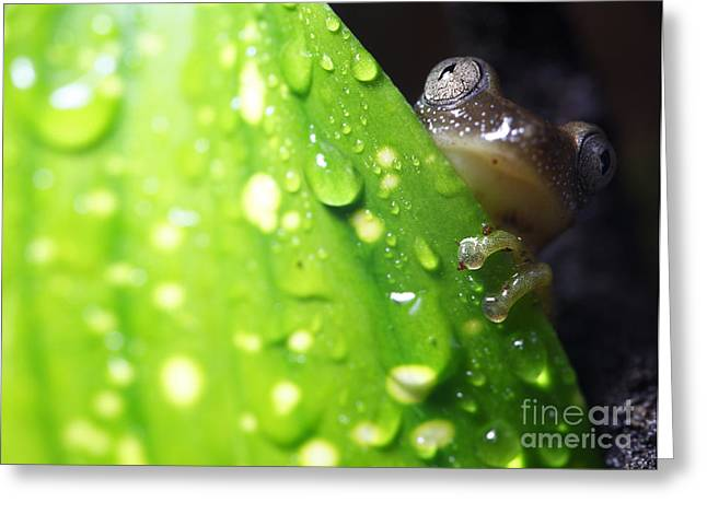 Tree Frog Greeting Cards - Reed frog Greeting Card by Brandon Alms