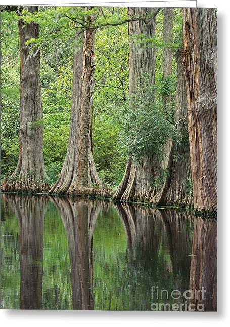 Trees Reflecting In Water Greeting Cards - Reflections Of Cypress Trees Greeting Card by Art Wolfe