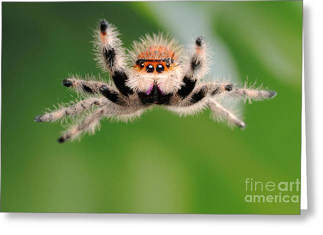 Whee Greeting Cards - Regal Jumping Spider Jumping Greeting Card by Scott Linstead