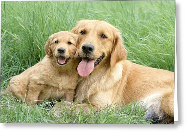 Golden Puppy Greeting Cards - Relaxing Retrievers Greeting Card by Greg Cuddiford