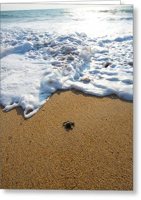 Releasing Green Sea Turtle, Hotelito Greeting Card by Douglas Peebles