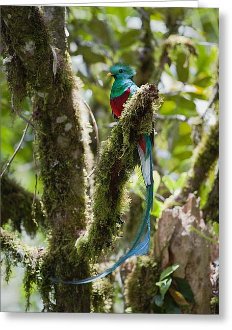 Animals and Earth - Greeting Cards - Resplendent Quetzal Male Costa Rica Greeting Card by Konrad Wothe
