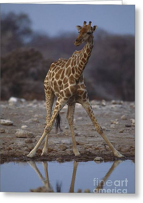 Reflection In Water Greeting Cards - Reticulated Giraffe Greeting Card by Art Wolfe