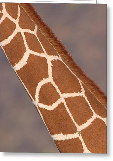 Playful Greeting Cards - Reticulated Giraffe Giraffa Greeting Card by Panoramic Images
