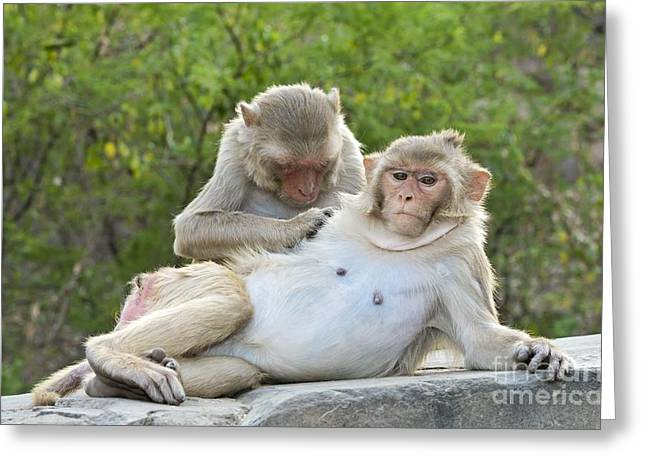 Recently Sold -  - Pairs Greeting Cards - Rhesus Monkeys Grooming Greeting Card by Tony Camacho