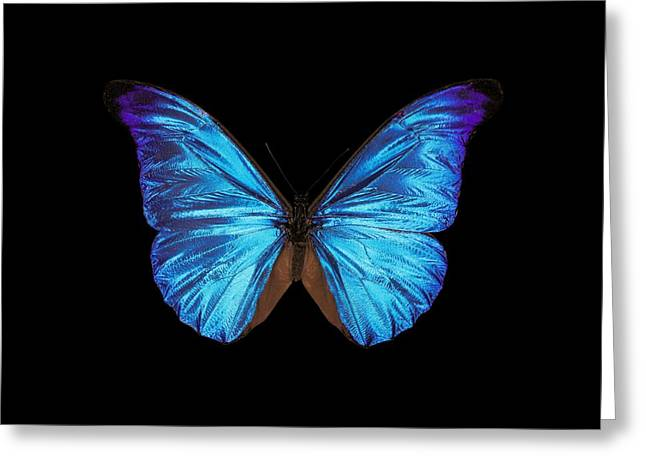 Nymphalidae Greeting Cards - Rhetenor blue morpho butterfly Greeting Card by Science Photo Library