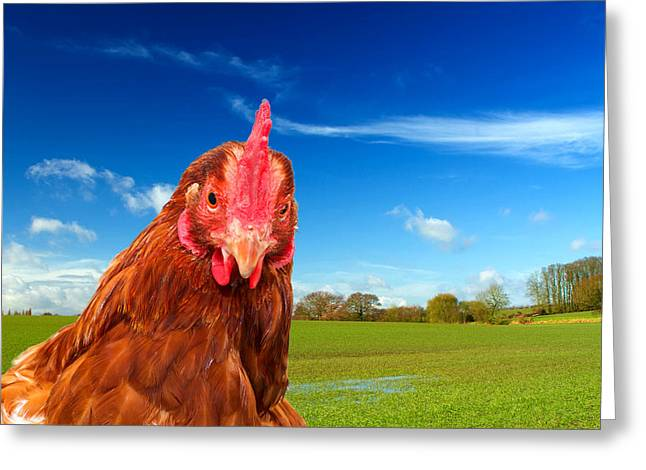 Free Range Hens Greeting Cards - Rhode Island Red Chicken In A Green Field With A Bright Blue Sky Greeting Card by Fizzy Image