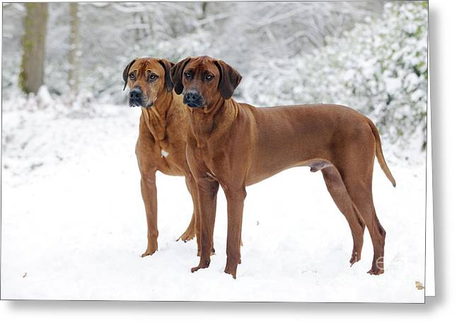 Rhodesian Ridgebacks In Snow Greeting Card by John Daniels
