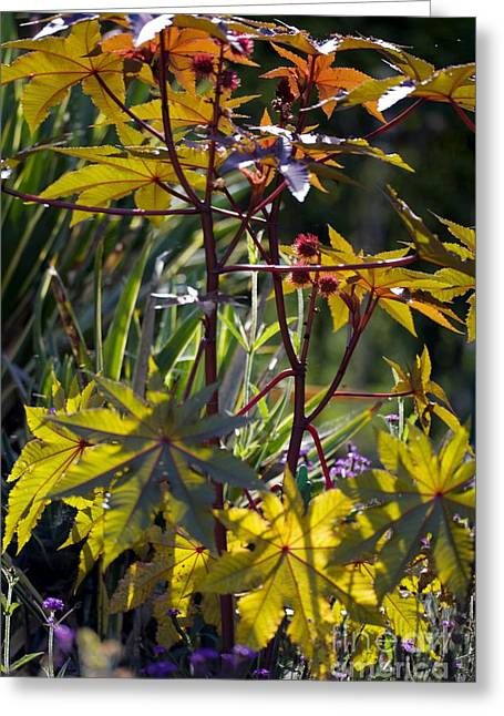 Ricinus Communis Gibsonii Greeting Card by Dr. Keith Wheeler