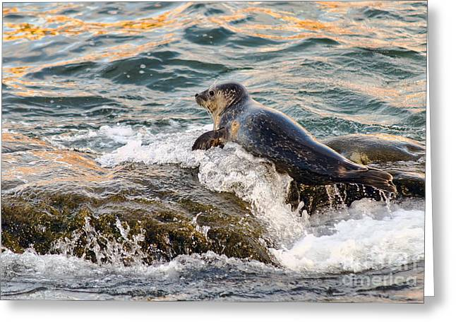 California Sea Lions Greeting Cards - Ride The Wave Greeting Card by Eddie Yerkish