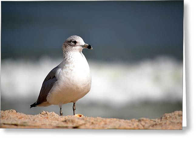 Zoology Pyrography Greeting Cards - Ring Billed Gull Greeting Card by Krystal Goldie