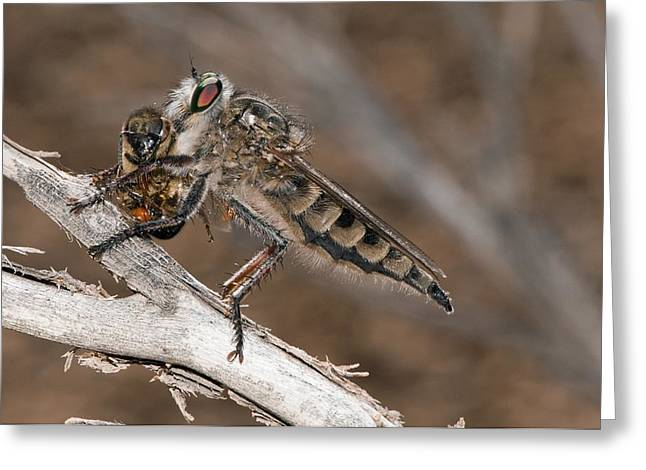 Eating Entomology Greeting Cards - Robber fly and prey Greeting Card by Science Photo Library