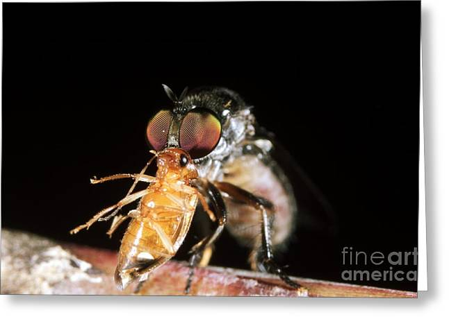 Sacha Greeting Cards - Robber Fly Feeding On A Cockroach Greeting Card by Dr. Morley Read