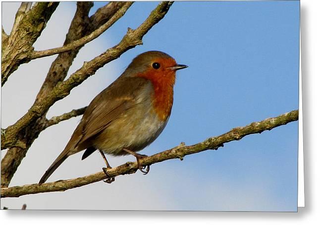 Bird Greetingcards Greeting Cards - Robin Greeting Card by Barbara Walsh