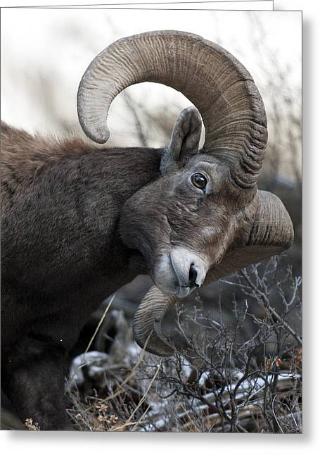 Rocky Mountain Sheep Greeting Cards - Rocky Mountain Big Horn Greeting Card by Gary Langley