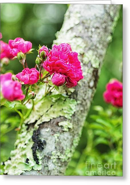 Appalachian Farm Greeting Cards - Rogue Rose on Sumac Greeting Card by Thomas R Fletcher