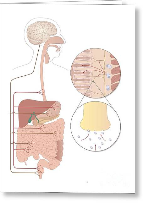 Serotonin Greeting Cards - Role Of Serotonin In The Digestive Greeting Card by Peter Gardiner