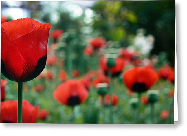 Tia Marie Mcdermid Greeting Cards - Romantic Poppies Greeting Card by Tia Marie McDermid