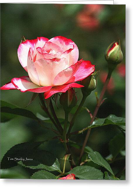 Mcc Greeting Cards - Rose And Bud At MCC Greeting Card by Tom Janca