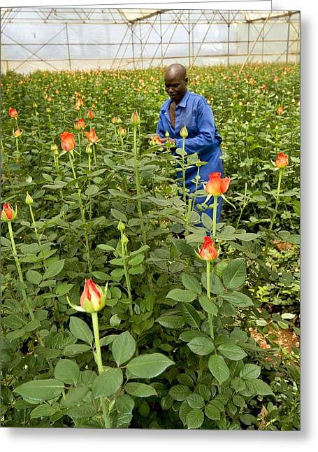 Zimbabwe Greeting Cards - Rose nursery, Zimbabwe Greeting Card by Science Photo Library