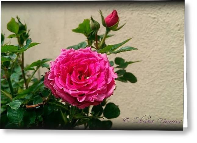 Olivia Narius Greeting Cards - Roses Greeting Card by Olivia Narius