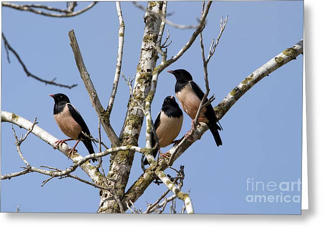 Coloured Plumage Greeting Cards - Rosy Starling Sturnus roseus Greeting Card by Eyal Bartov