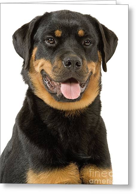 Breeds Greeting Cards - Rottweiler Dog Greeting Card by Jean-Michel Labat