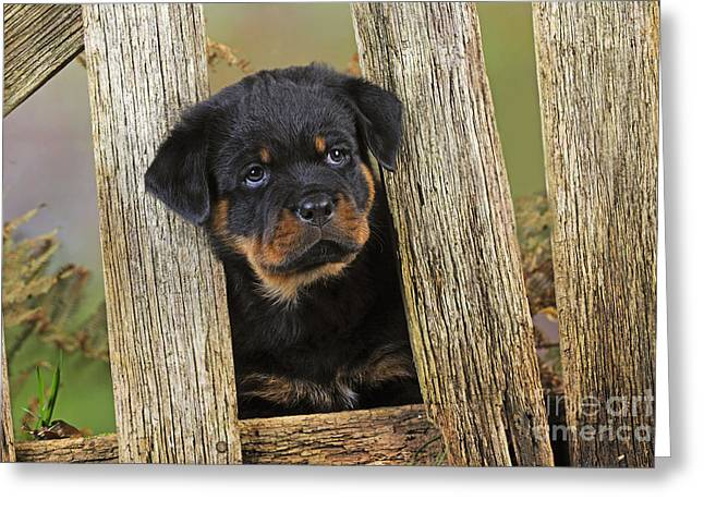 Rottweiler Puppy Greeting Cards - Rottweiler Puppy Dog Greeting Card by John Daniels