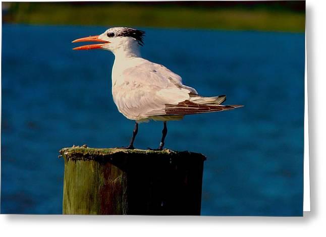 Tern Greeting Cards - Royal Tern 1 Greeting Card by Stephanie Kendall