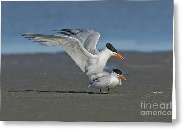 Tern Greeting Cards - Royal Terns Greeting Card by Anthony Mercieca
