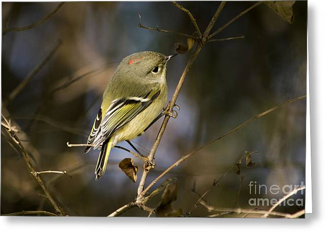 The North Pyrography Greeting Cards - Ruby-crowned Kinglet Greeting Card by Michael Bennett
