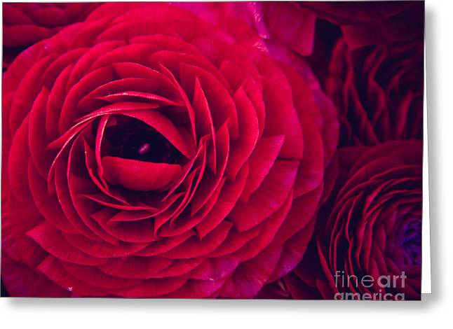Flower Blooms Greeting Cards - Ruby Red Greeting Card by Ana V  Ramirez