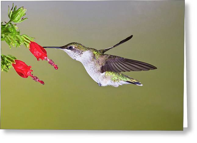 Ruby-throated Hummingbird (archilochus Greeting Card by Larry Ditto