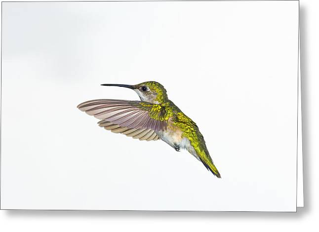 Full Body Greeting Cards - Ruby-throated Hummingbird Archilochus Greeting Card by Thomas Kitchin & Victoria Hurst