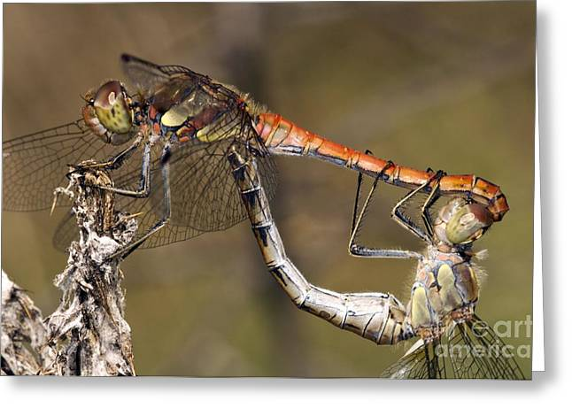 Ruddy Greeting Cards - Ruddy Darter Dragonflies Mating Greeting Card by Paul Harcourt Davies