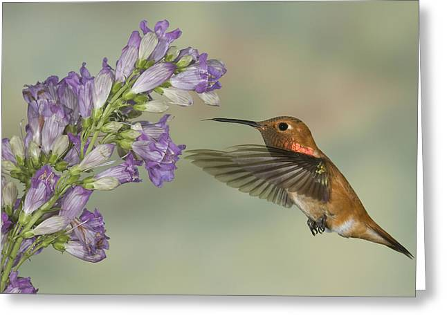Hovering Greeting Cards - Rufous Hummingbird  Greeting Card by Jack Milchanowski